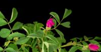 Flor rosa-cão desabrochando em um fundo preto