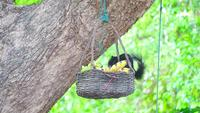 Black squirrel eats fruits