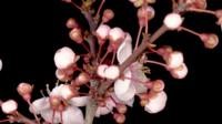 Rosa blühende Blumen