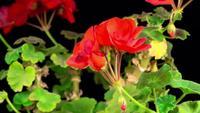 Blühende rote Geranie