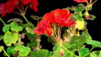 Bloeiende rode geranium