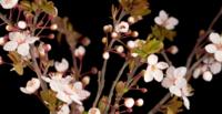 Weiße Blumen, die auf einem Kirschbaum blühen