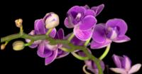Orquídeas moradas que florecen en un fondo negro