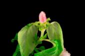 Rosa Blume, die auf den Zweigen eines Apfelbaums blüht