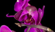Flor de Phalaenopsis orquídea púrpura floreciente