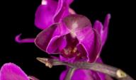 Flor de Phalaenopsis de orquídea roxa florescendo