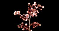 Flores blancas en las ramas de un cerezo