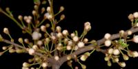 Weiße Blumen, die auf den Zweigen eines wilden Pflaumenbaums blühen