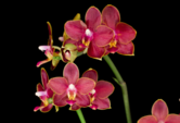 Isolierte rote Orchideen-Phalaenopsis