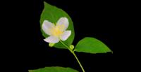 Apertura de flor de jazmín blanco