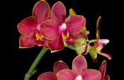 Rode orchidee op een zwarte achtergrond