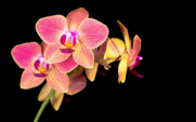 Red Orchid Phalaenopsis Flower Growing in a Time-lapse