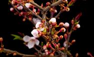 Weiße Blumen, die auf den Zweigen eines Kirschbaums blühen