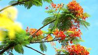 Cassia fistula flores fondo de cielo azul