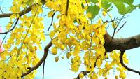 Cassia fistula gula blommor