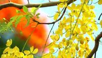 Cassia fistula jaune flou rouge flamme arbre