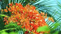 Röda Caesalpinia pulcherrima blommor