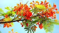 Rote Caesalpinia pulcherrima Blüten