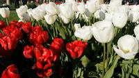 Red and white tulips in a park