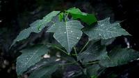 Poinsétia sai com gotas de chuva