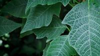 Close up de folhas de árvore de poinsétia