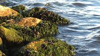 Mussels On Algae In Sea Rocks