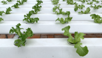 Gemüsepflanze im Bauernhof