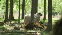 Ein Schaf geht zwischen den Bäumen in den Wald
