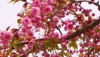 Sakura-Blüte mit rosa Blumen
