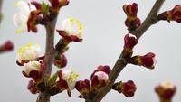 Mañana soleada de primavera en un jardín de cerezos