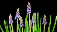Paarse druif hyacint Muscari bloemen bloeien