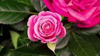 Time-lapse van het openen van roze roze bloem