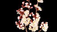 Witte bloemen bloeien op de takken van de abrikozenboom