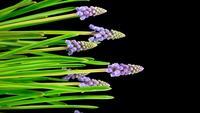 Paarse druivenhyacint Muscari bloemen bloeien