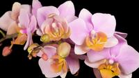 Bloeiende roze orchidee Phalaenopsis bloem