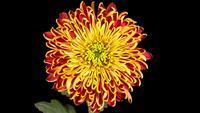 Mooie rood-gele chrysant bloem opening