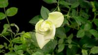Lapso de tiempo de apertura de flor rosa blanca