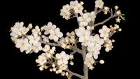 Weiße Blumenblüten auf den Zweigen Kirschbaum