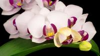 Blooming White Orchid Phalaenopsis Flower.