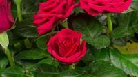 Zeitraffer der Eröffnung der roten Rosenblume