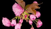 Time-lapse van mooie opening roze Sakura bloemen bos
