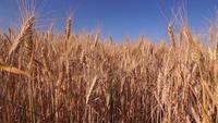 Champ de blé doré se balançant