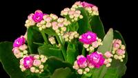 Time-lapse van het openen van roze Kalanchoë-bloem