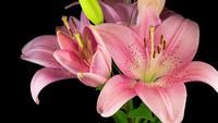 De mooie Roze Bloem van de Lelie bloeit dramatisch