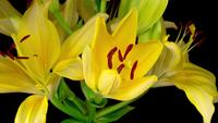 Beautiful Yellow Lily Flower Blossoms