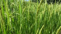 Champ de riz se balançant avec le vent