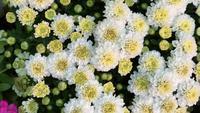 Flores brancas no jardim