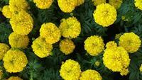 Goudsbloem bloemen in de tuin