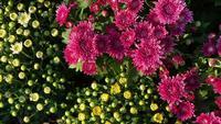 Flores de crisântemo no jardim
