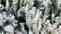 Stekelige Grote Cactus